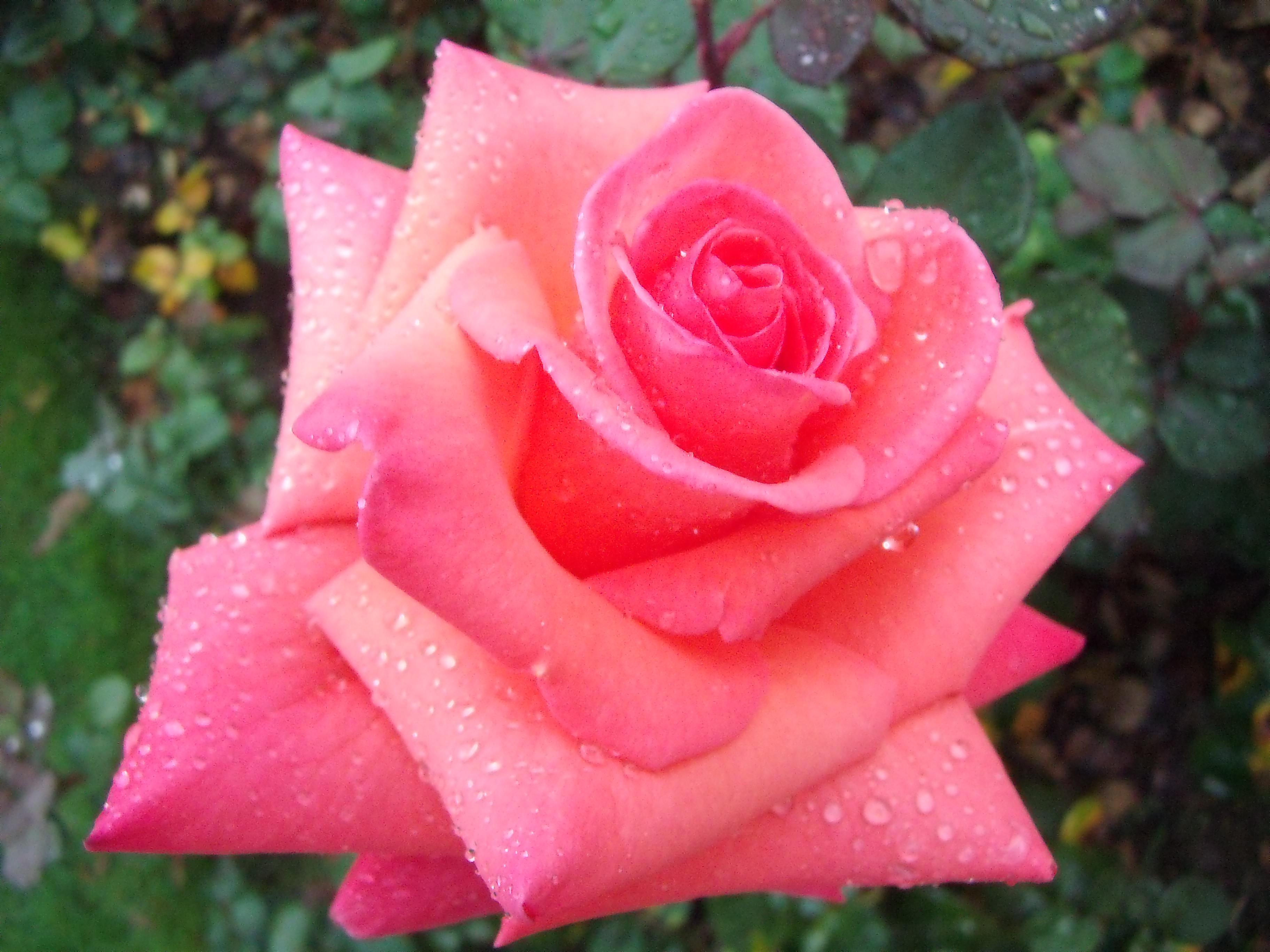 Jolies roses photos gratuites t l charger webmultiple for Site de fleurs